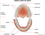 035%20Dental%20arch%20of%20adult
