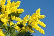 mimosa-tree.s600x600