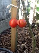 One Strange Shaped Tomato