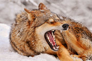 Big-wolf-yawn