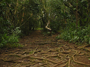 Roots in Nu'uanu