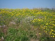 Wildflower Bloom in Ballona Wetlands