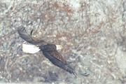 Bald Eagle, by Tom Fishburn