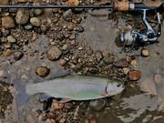 12.5'' Rainbow Trout (3-13-19)