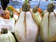Tennessee Sweet Potato Squash