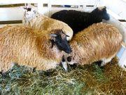 Navajo-Churro Sheep