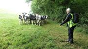 Our Leader John tells cattle to stop following us