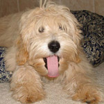 Australian Labradoodles Midwest Connection