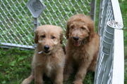 Connecticut Goldendoodles/Labradoodles