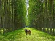 Agroflorestal/Silvicultura
