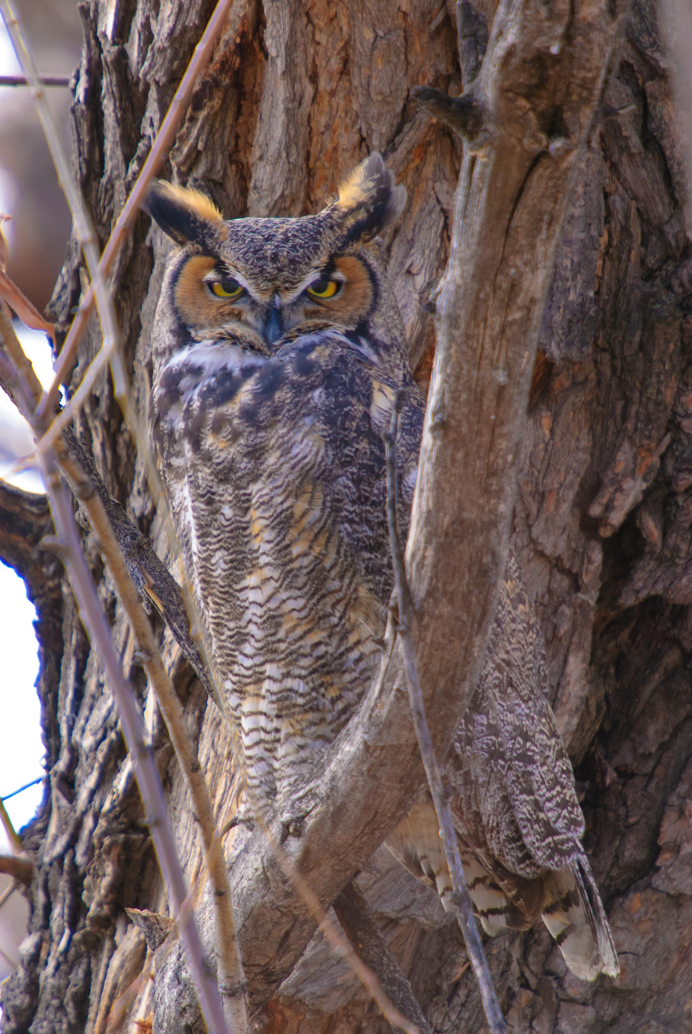 Owl 12-21-12-7135