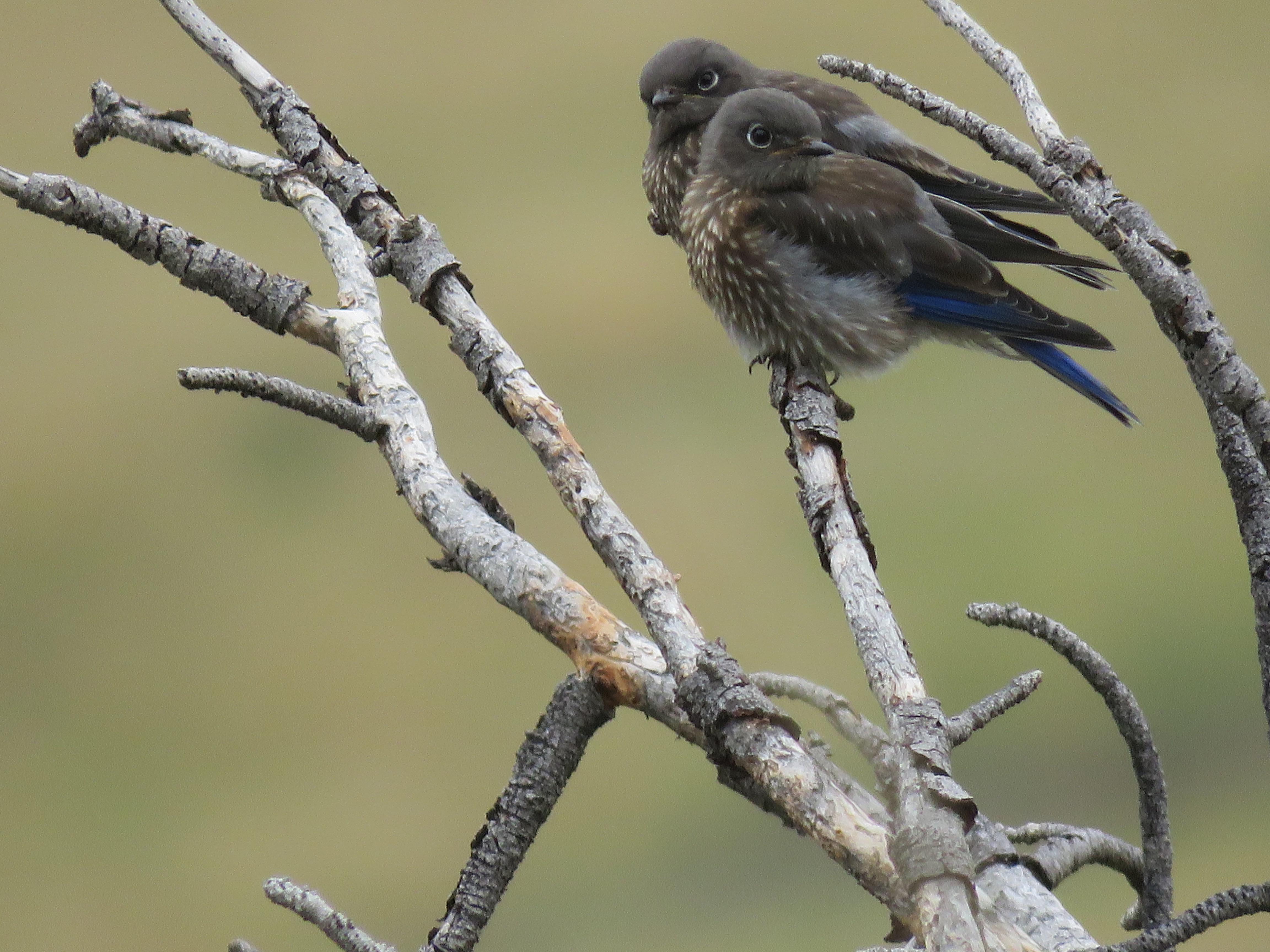 Tiny bluebirds