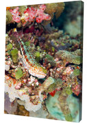 Variegated Lizardfish perched on a reef ledge