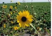 sunflower in robstown