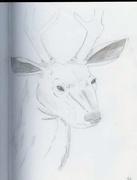 deer sketch (2)