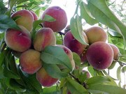 Home Grown Desert Peaches