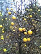 Planetary Pears