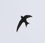 Talk: Swift Conservation Trust