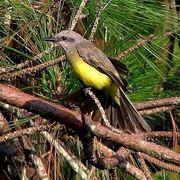 Atrapamoscas, Flycatcher bird -family Tyrannidae- Cerro El Volcán, Caracas