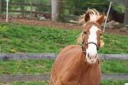 Our Belgian Draft Quarterhorse Cross Mare, Sunny