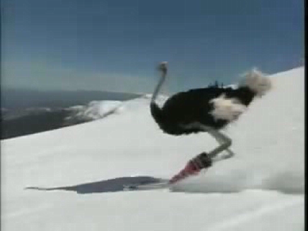 Skiing ostrich
