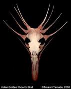 Indian Golden Phoenix Skull