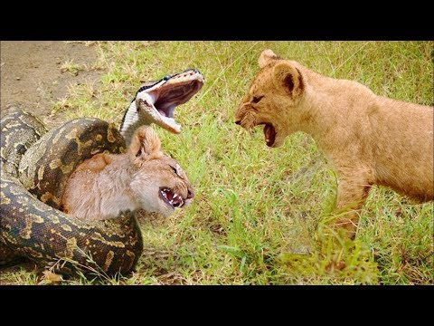 LIVE: If You're Scared of Blood Don't Watch This, National Geographic Animals, BBC 2018