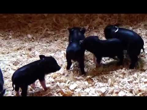 Epic Mini Pot Belly Pig Fight