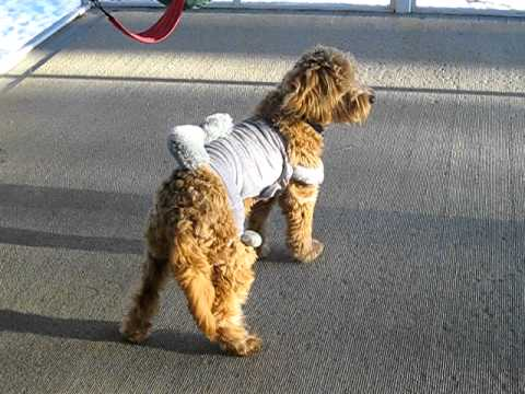 Buddy the mini-doodle with squirrel suit