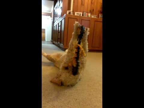 Goldendoodle playing with toy on his back