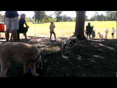 Goldendoodle walking (plaing with) a Pug