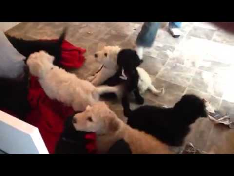 Louis playing with the puppies