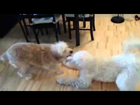Golden Doodles - Maggie and Shelby