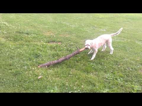 Goldendoodle / Groodle playing with a stick