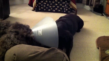 Indie wearing her cone