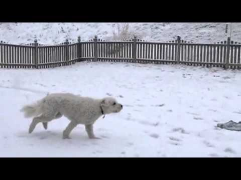 1 yr old goldendoodle and her first snow