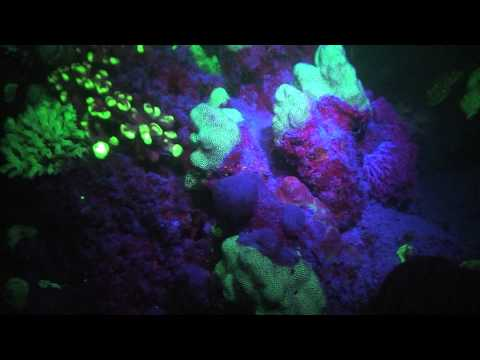Fluorescence during Night Dives  -  To Be Or Not To Be