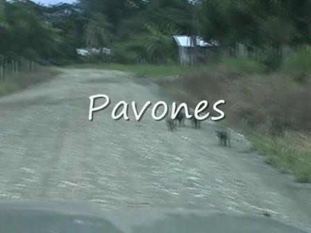 Pavones