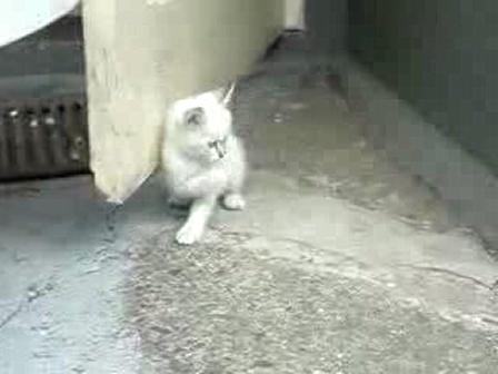 Animal Evolution;huskie plays with kitten