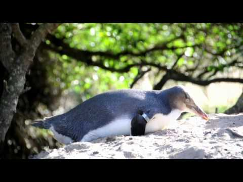 One of the worlds most rare species, Yellow-Eyed Penguins at Penguin Place Dunedin New Zealand