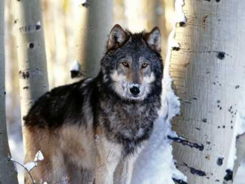 Wolves - Hear my Prayer