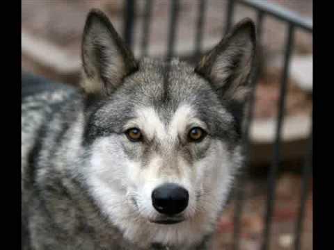 Wolfdogs Needing Homes Part II