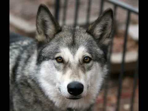 Wolfdogs Needing Homes Part II