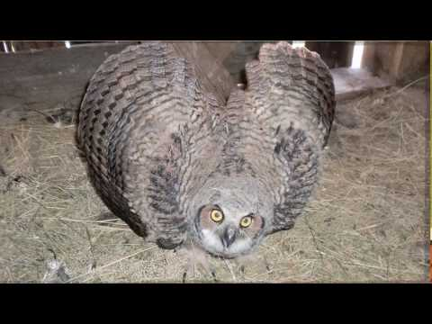 Horned Owl Sounds Off