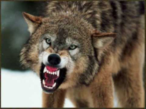 Wolves - Are they really the monsters?