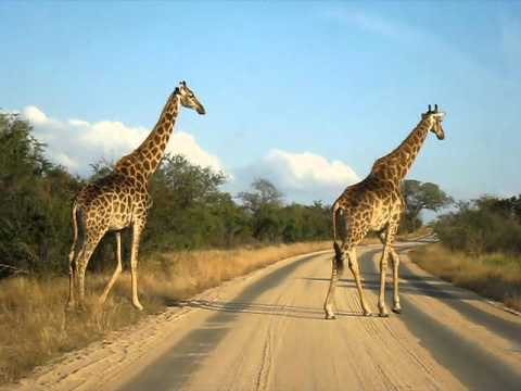 GIRAFFES WALKING IN THE WILD SIDE