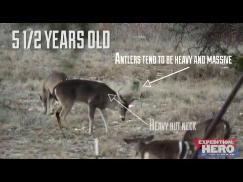 Aging Bucks on the Hoof