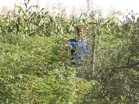 Cultura da oliveira no sul do Brasil