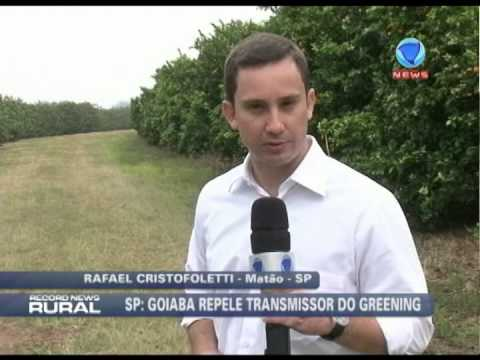 Goiaba repele transmissor do greening