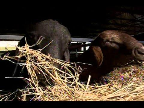 Criação de ovinos é alternativa de renda para pequenos proprietários